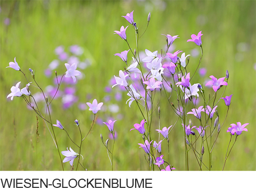 Wiesen-Glockenblume Bilder, Fotos, Glockenblumen, Feuchtstandorte