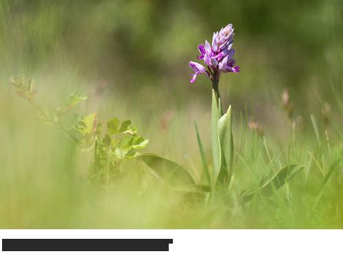 Helm-Knabenkraut, Bilder, Fotos, Orchidee