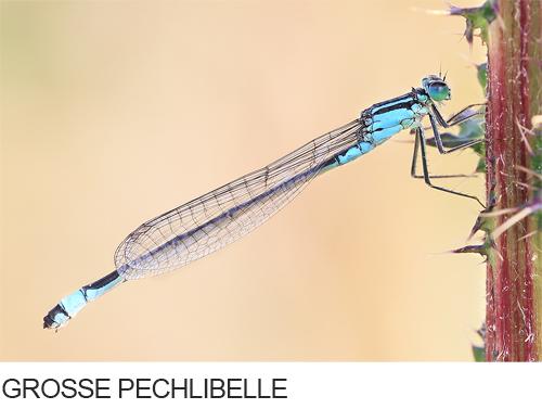Grosse Pechlibelle Bilder, Fotos, Libelle