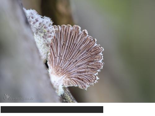 Gemeiner Spaltblättling Bilder, Fotos, Pilze, Baumpilz