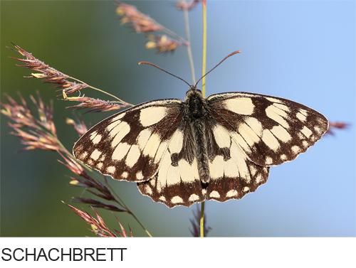 Schachbrett Bilder, Fotos, Schmetterling
