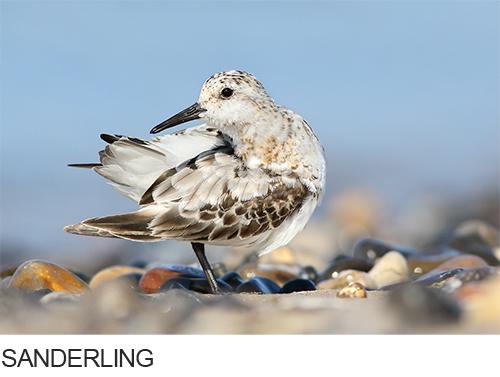 Bilder, Fotos Sanderling, Wattvögel
