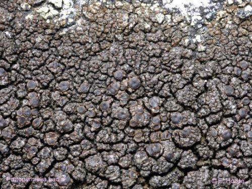 Protoparmelia badia (Hoffm.) Haf. - Rote Liste 3