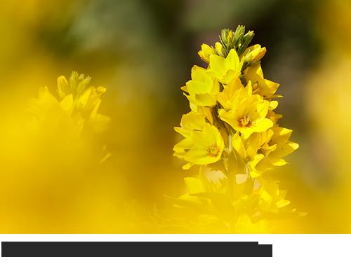 Gewöhnlicher Gilbweiderich Bilder, Fotos, Gilbweiderich