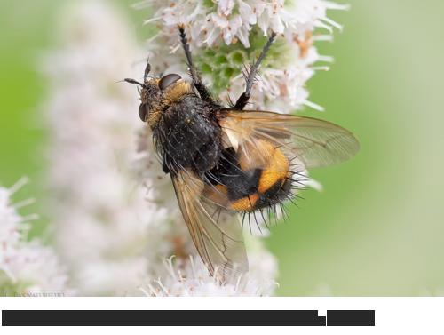 Große Borsten-Raupenfliege, Bilder, Fotos, Fliegen, Insekten