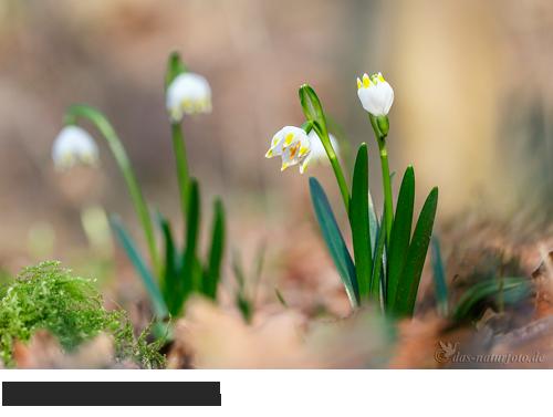 Märzenbecher, Bilder, Fotos, Waldpflanzen, Frühblüher