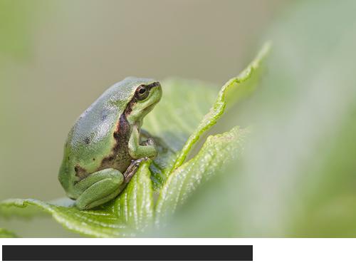 Bilder, Fotos Laubfrosch