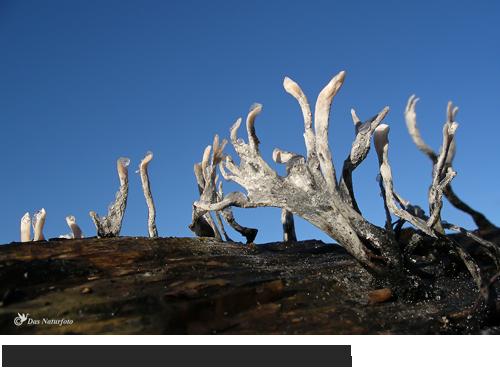 Geweihförmige Holzkeule Bilder, Fotos, Pilze, Baumpilz