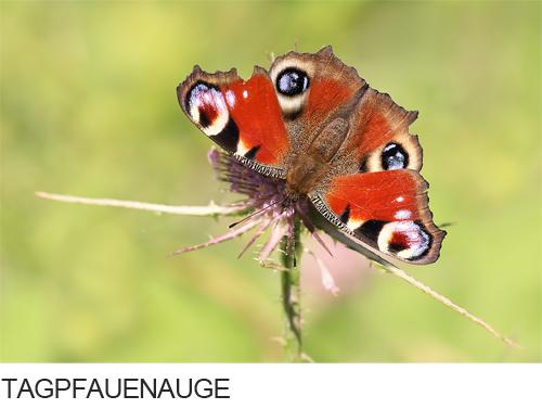 Bilder, Fotos Tagpfauenauge Schmetterling
