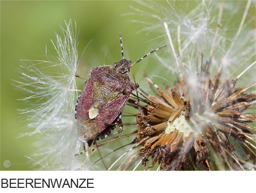 Beerenwanze, Bilder, Fotos, Käfer, Wanzen, Insekten