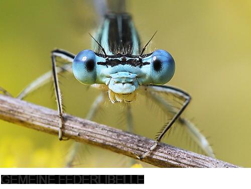 Gemeine Federlibelle, Blaue Federlibelle Bilder, Fotos, Libelle