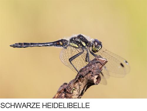 Schwarze Heidelibelle Bilder, Fotos, Libelle