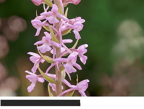 Mücken-Händelwurz, Langsporn-Händelwurz, Fliegen-Händelwurz, Große Händelwurz, Orchidee Bilder, fotos