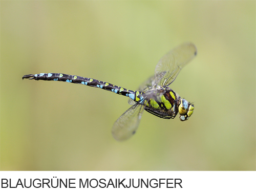 Blaugrüne Mosaikjungfer Bilder, Fotos, Libelle
