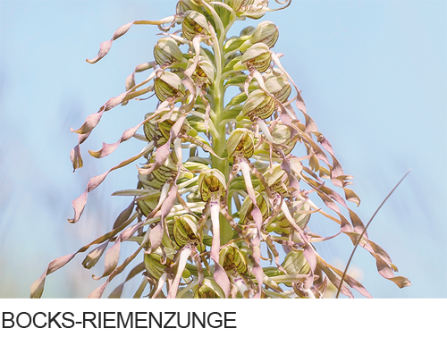 Bocks-Riemenzunge, Bilder, Fotos, Orchideen,