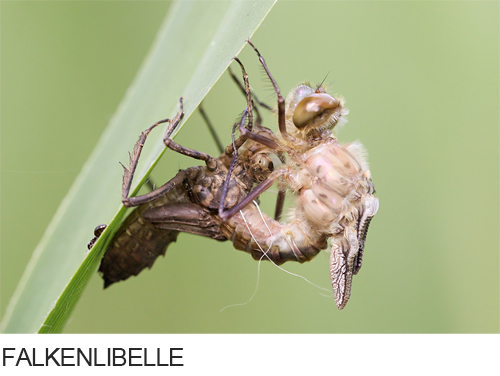 Falkenlibelle Bilder, Fotos, Libelle