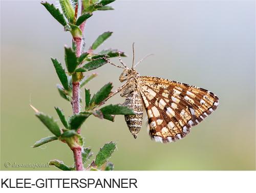 Klee-Gitterspanner Bilder, Fotos, Schmetterling