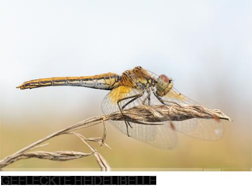 Gefleckte Heidelibelle Bilder, Fotos, Libelle, Schadach