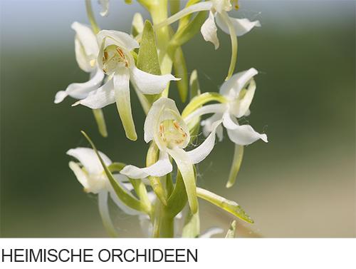 Heimische Orchideen, Fotogalerie, Bilder, Fotos
