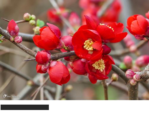 Berberitze Bilder, Fotos, Gartenpflanzen, Zierpflanzen, Gehölz