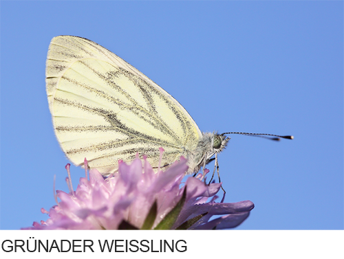 Grünader Weißling Bilder, Fotos, Schmetterling