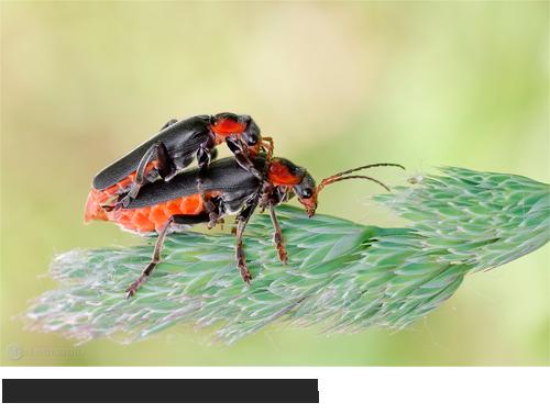 Gemeiner Weichkäfer Bilder, Fotos, Käfer, Wanzen