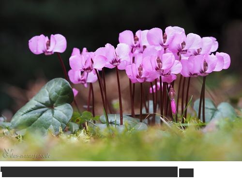 Vorfrühlings Alpenveilchen Bilder, Fotos