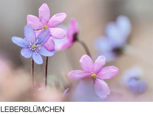 Leberblümchen, Bilder, Fotos, Waldpflanzen, Frühblüher