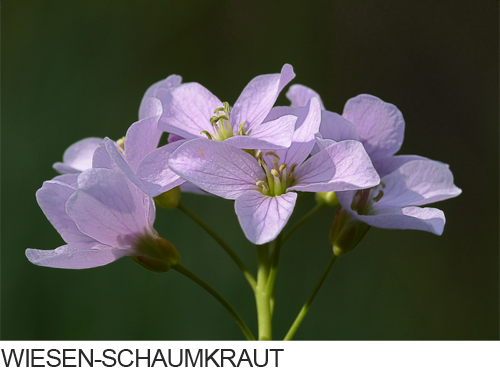 Wiesen-Schaumkraut Bilder, Fotos, Feuchtgebiete