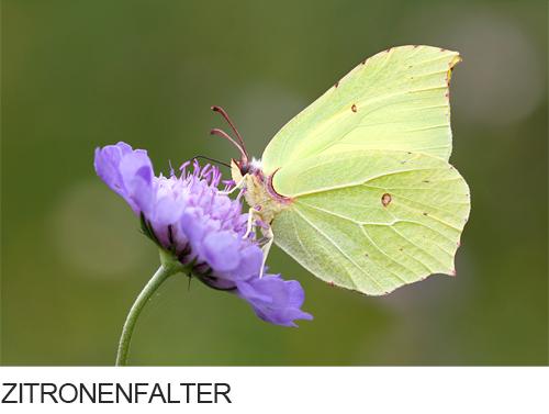 Zitronenfalter Bilder, Fotos, Schmetterling