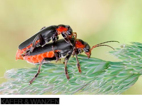 Bilder, Fotos Käfer & Wanzen, Regine Schadach