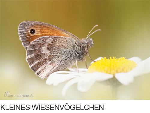 Kleines Wiesenvögelchen Bilder, Fotos, Schmetterling