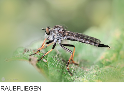 Raubfliegen Bilder, Fotos, Fliegen, Insekten