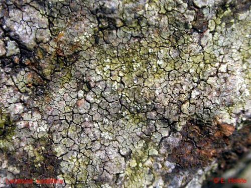 Lecanora soralifera (Suza) Räsänen - Rote Liste 3