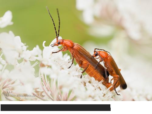 Ockerbrauner Weichkäfer Bilder, Fotos, Käfer, Wanzen