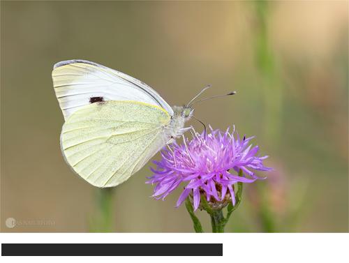 Großer Kohlweißling, Bilder, Fotos, Schmetterling, Weißling