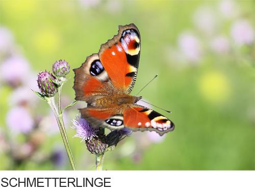 Bilder, Fotos Schmetterlinge