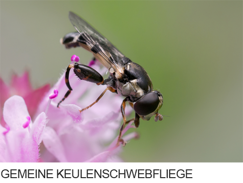 Gemeine Keulenschwebfliege, Fliege, Schwebfliege, Bilder, Fotos, Insekten