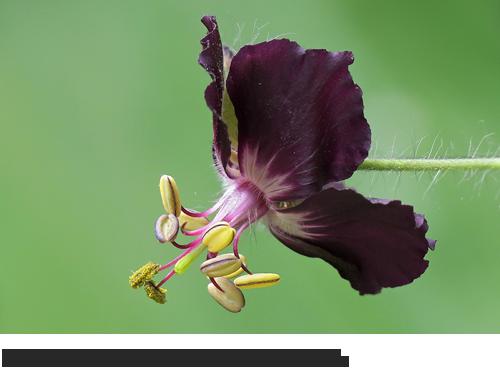 Brauner Storchschnabel Bilder, Fotos