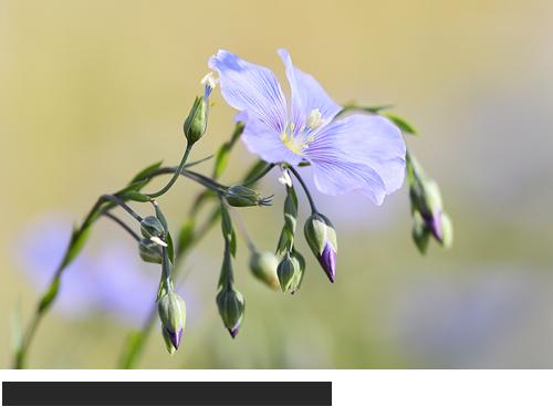 Österreichischer Lein Bilder, Fotos, Trockenrasen, Lein,