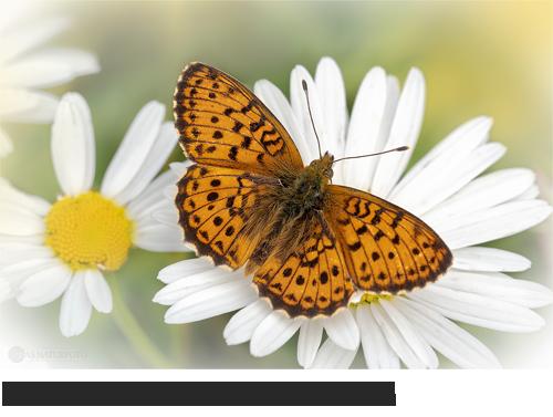 Mädesüß-Perlmuttfalter (Brenthis ino), Bilder,Fotos, Schmetterlinge