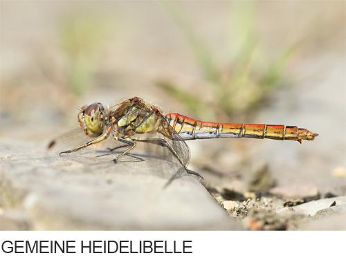 Gemeine Heidelibelle Bilder, Fotos, Libelle