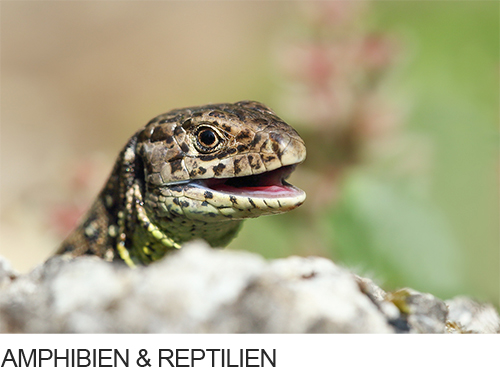 Bilder, Fotos Amphibien & Reptilien