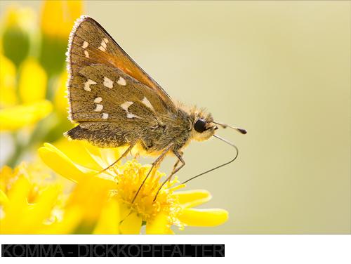 Komma-Dickkopffalter, Bilder, Fotos, Schmetterling