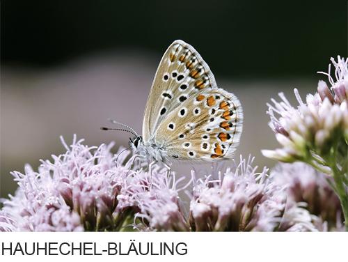 Hauhechel-Bläuling Bilder, Fotos, Schmetterling