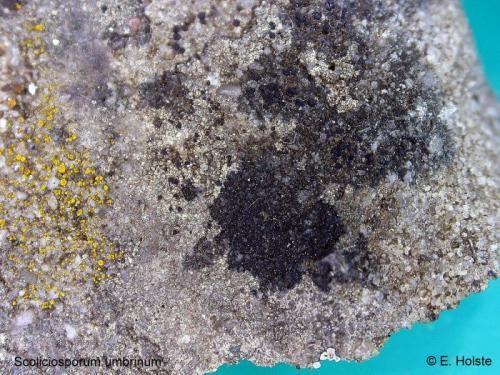 Scoliciosporum umbrinum (Ach.) Arnold