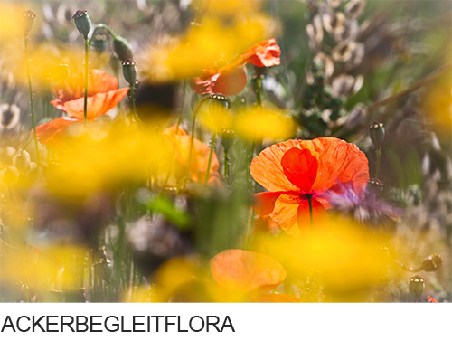 Ackerbegleitpflanzen, Ackerbegleitflora,  Fotogalerie, Bilder, Fotos