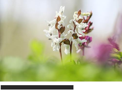 Hohler Lerchensporn Bilder, Fotos, Waldpflanze, Frühblüher