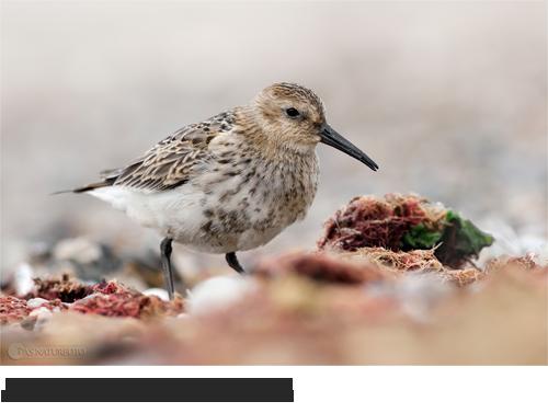 Bilder, Fotos Alpenstrandläufer, Wattvögel