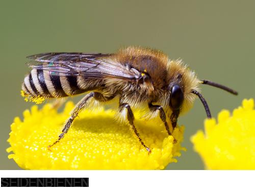Seidebbienen,  Bilder, Fotos, Bienen, Hummeln und Wespen